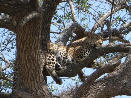 A Leopard in Maasai Mara game reserve