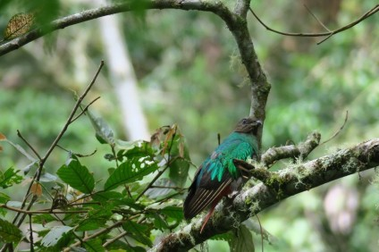 This is a female Quetzal. Quetzals are the mascot animal of Cusuco National Park. Males have stunning long red tails, while females, as in this photo, have beautiful emerald green bodies. I was lucky enough to have seen both the male and female during my time there, right before I headed off to jungle training!