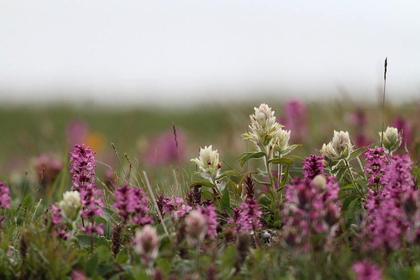 In the summer, the tundra is full of colour. Varying shades of white, yellow, orange, pink and blue hint to the diversity of plants that together make up the flora of Qikiqtaruk-Herschel Island.