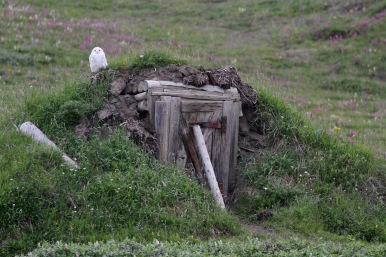 Our field season on Qikiqtaruk-Herschel Island featured at least 14 different snowy owls. Owl population numbers fluctuate depending on the availability of their main food sources - voles and lemmings. A peak year for voles and lemmings, in 2018 we saw snowy owls every day as we made our way to our monitoring sites. Though for us snowy owls became a common sight, much about this Arctic-roaming species remains unknown, including the limits of its breeding and migratory ranges.