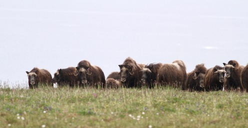 Alongside plant monitoring, we also record the variety of herbivores on the island and their abundances. Through selective grazing (eating more of their favourite species), herbivores such as the muskoxen pictured here, influence the composition of plant communities in the Arctic.