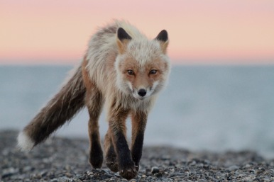 A red fox (Vulpes vulpes) walks along the beach near the Pauline Cove settlement on Qikiqtaruk-Herschel Island. Here, red foxes feed on lemmings and voles. Since 2018 is a peak year for rodent population numbers, we got to witness many successful hunts by this blonde-tinted fox, and fox prints on the beach in the mornings alluded to all the action happening at nighttime.
