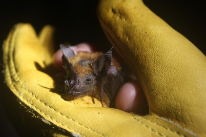 A bat being looked at to measure its parasite numbers