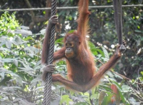 Sabah Borneo Malaysia: Orangutan Sanctuary