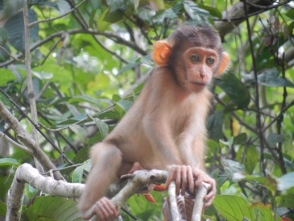 Sabah Borneo: Baby Macaque monkey pictured on safari in Sabah Jungle