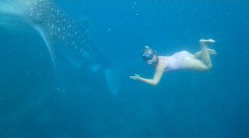 Moal Boal, Cebu. Philippines: Snorkelling with Whale sharks