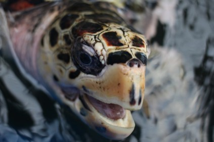A hawksbill turtle