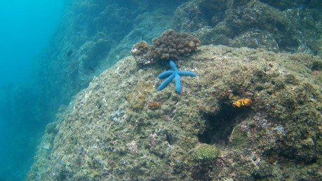 El Nido,Philippines: Blue starfish spotted snorkelling