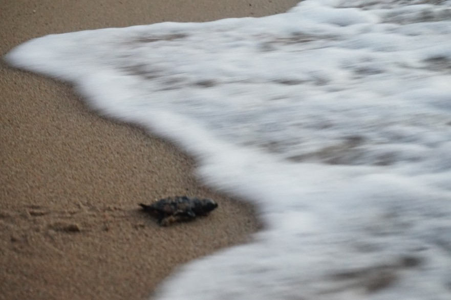 4. A hatchling making its way to the Mediterranean Sea