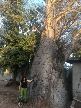 a thirty year old mbuyu tree
