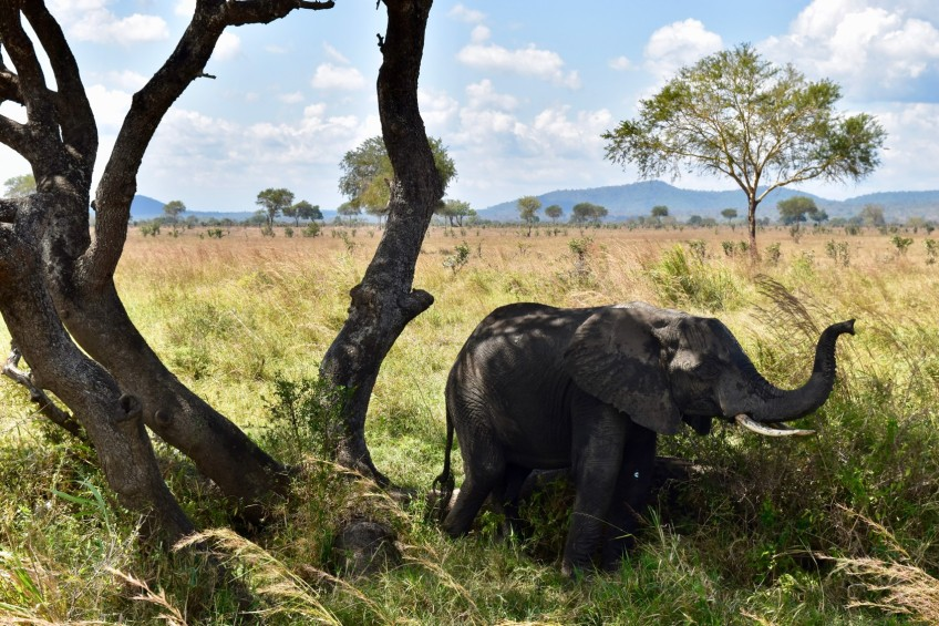 A young male Elephant in Mikumi National Park