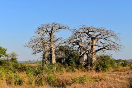 Baobab Trees found throughout Tanzania. Known as the 'Tree of Life'. Valuable for its edible fruit, source of water and medicinal properties